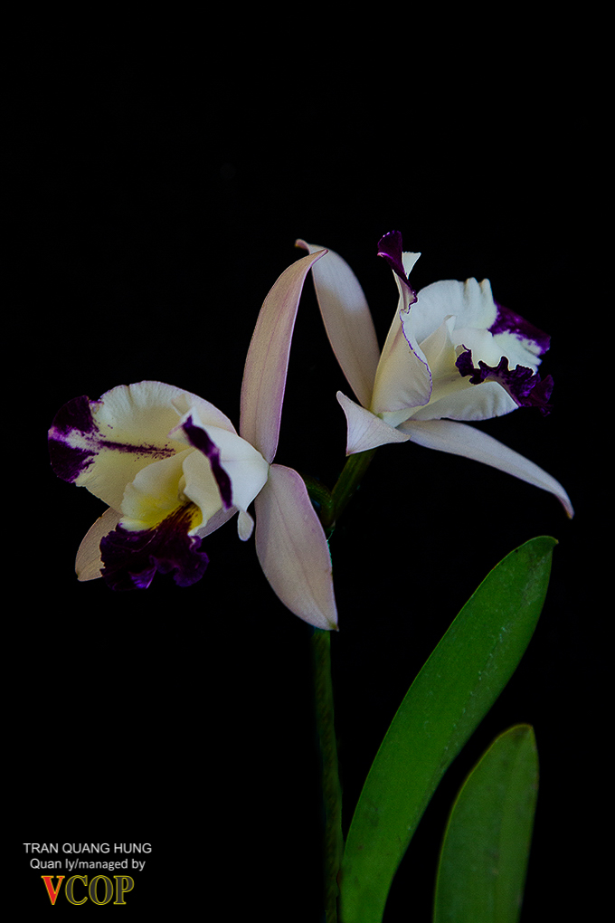 Orchids_783b9798s